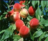 黄金蜜5号桃树苗价格、黄金蜜5号桃树苗基地