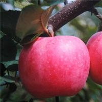 榮光蘋果苗修剪時間,煙富10號蘋果苗修剪時間
