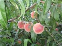 1年2年3年锦绣黄桃树苗价格明顺园艺