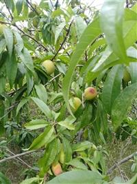 当年结果5年桃树苗一亩地栽几颗明顺苗木