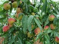 1年2年嫁接桃树苗卖多少钱明顺园艺