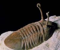 哪里有买家需要三叶虫化石