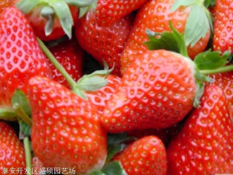 20公分高丰香草莓苗如何进行土壤改良