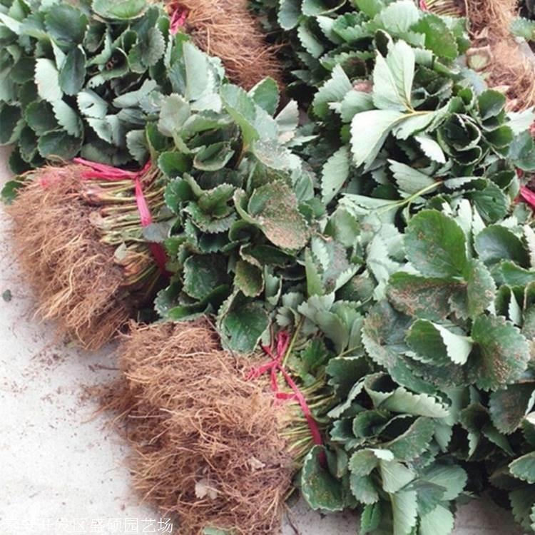 30公分高 甜宝草莓苗水肥管理