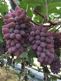 吉林出售茉莉香葡萄苗