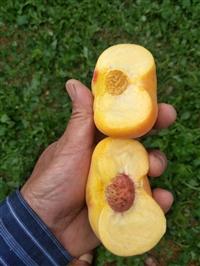 桃树苗优质早熟桃,好吃的早熟桃,早熟桃树苗,极早熟桃品种