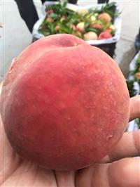 桃树苗优良新品种  晚熟高产桃树苗价格