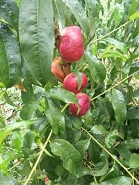 桃树苗 晚熟桃树苗 新品种桃树苗 桃树苗价格 映霜红桃树苗