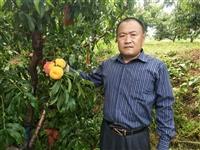 占地桃树  4--5--6公分大桃树占地树