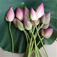荷花太空蓮紅荷花 大朵觀賞蓮鮮切花 供佛鮮蓮花 尚品蓮皇批發供