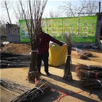 3公分翠冠梨树苗批发基地、大量供应翠冠梨树苗