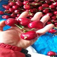 6公分科迪亚樱桃树苗哪里有、现在价格