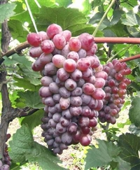 吉林出售茉莉香葡萄苗、巨峰葡萄苗、金紅娃葡萄苗