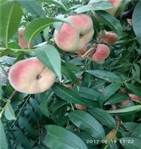 中油27桃树苗、中油27桃树苗大量供应