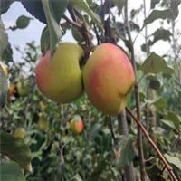 汕头烟富8号苹果苗脆甜丰产 矮化苹果苗厂家