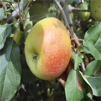 滁州1公分苹果苗脆甜丰产 奶油苹果苗现卖现挖