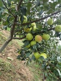 苹果苗  苹果苗种植基地  苹果苗产地  苹果苗厂家