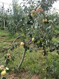 苹果苗基地  苹果苗基地价格  苹果苗基地批发 苹果苗基地厂家