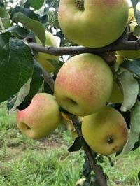 嫁接苹果苗  优质苹果苗  供应苹果苗  销售苹果苗