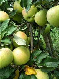 苹果苗报价  苹果苗多少钱  苹果苗批发价格