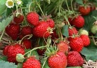 草莓苗优质草莓苗育苗基地_成活率高