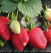 草莓苗草莓苗产量高价格_优质草莓苗产量高批发