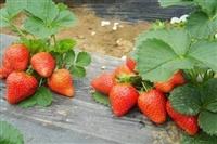 草莓苗草莓种苗_草莓苗批发_法兰地草莓苗_文一农业草莓苗