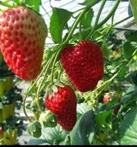草莓苗草莓苗批发价格报价_草莓苗基地直销批发价格