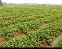 草莓苗 章姬草莓苗批发价格,草莓苗培育技术