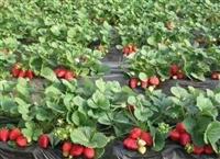 草莓苗 草莓苗介绍、草莓苗批发、草莓苗基地