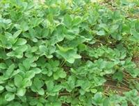 供应草莓苗 草莓苗种植 草莓苗价格批发