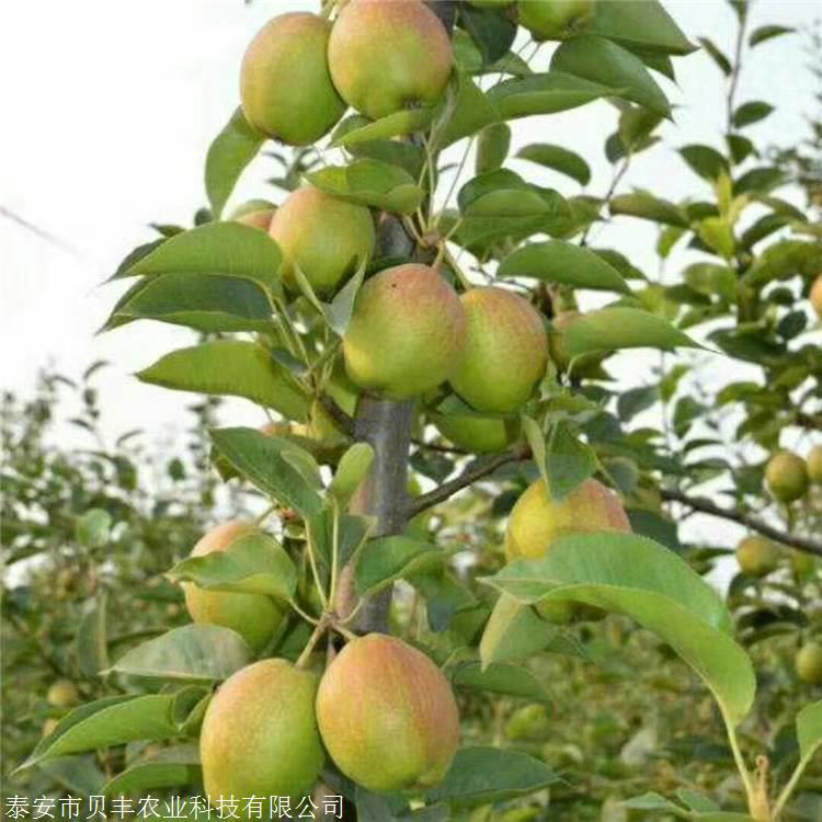 全红梨树苗哪里有卖的 梨树苗批发多少钱