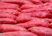 供應遼寧凌海早豐1 龍薯九 紅薯地瓜