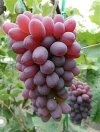 遼寧出售茉莉香葡萄苗、吉林葡萄苗、吉林出售葡萄苗