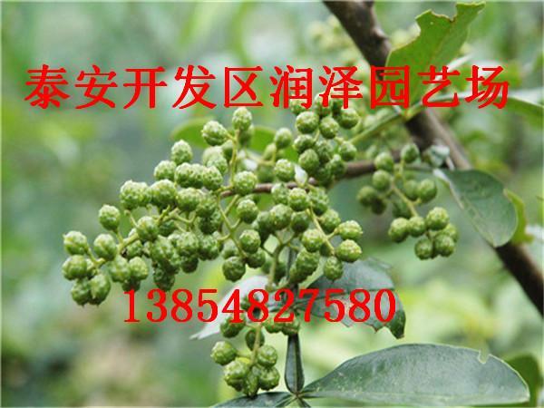 花椒苗价格实惠 品种多