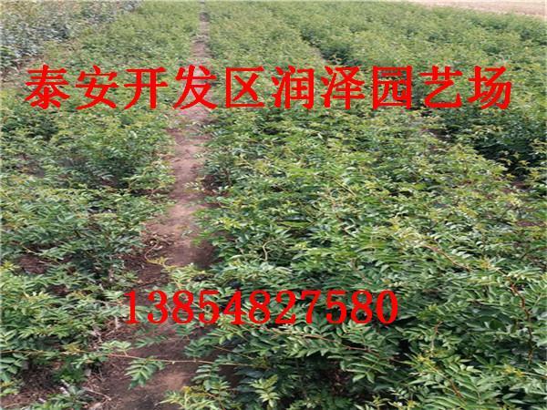 大红袍花椒苗要如何播种
