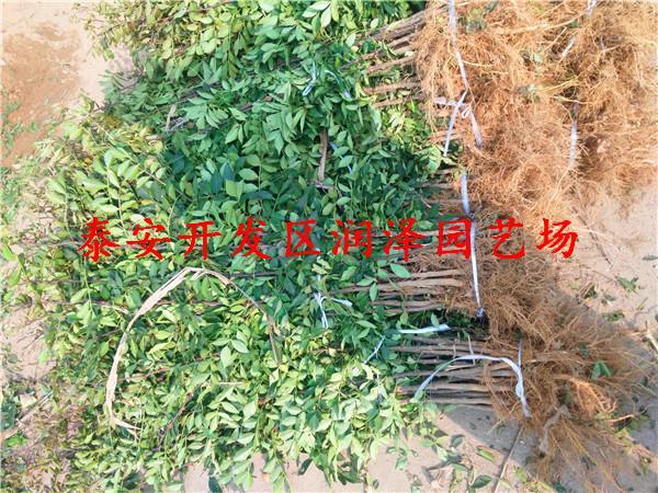 花椒苗价格和作用 支持全国发货