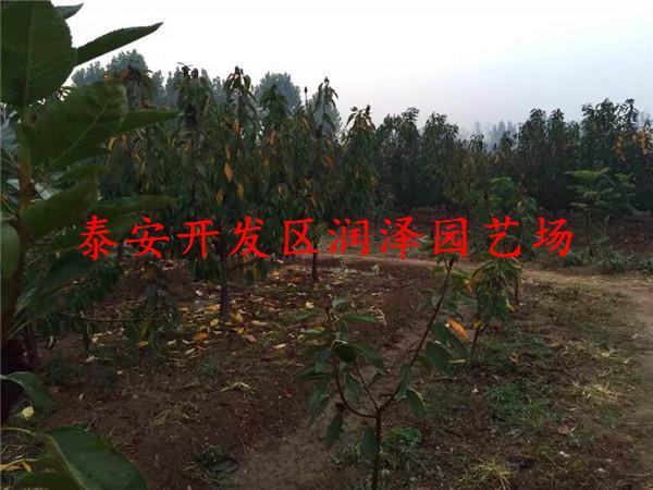 那翁樱桃苗价格 细心培育 品种优质