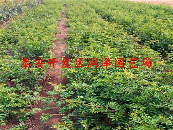 山西花椒苗供应商 支持全国发货