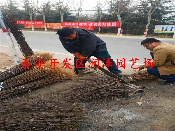 大红袍花椒苗种植技术 现货供应