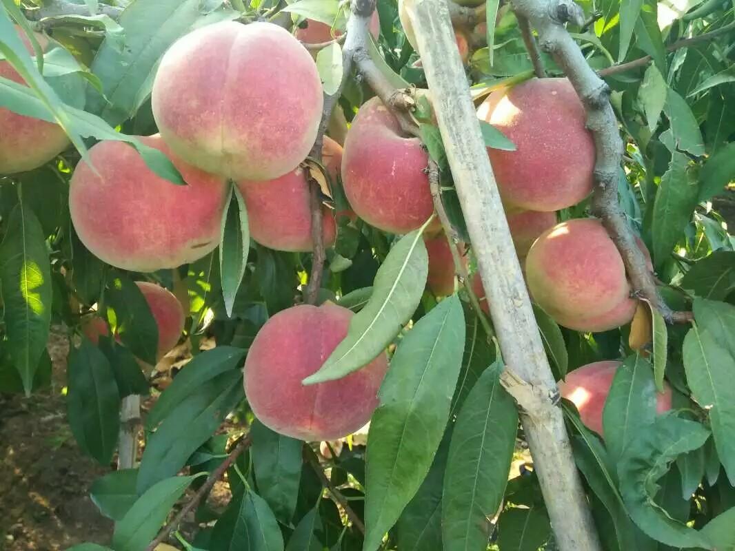 西藏桃树苗批发价格