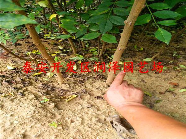供应花椒苗种植方法