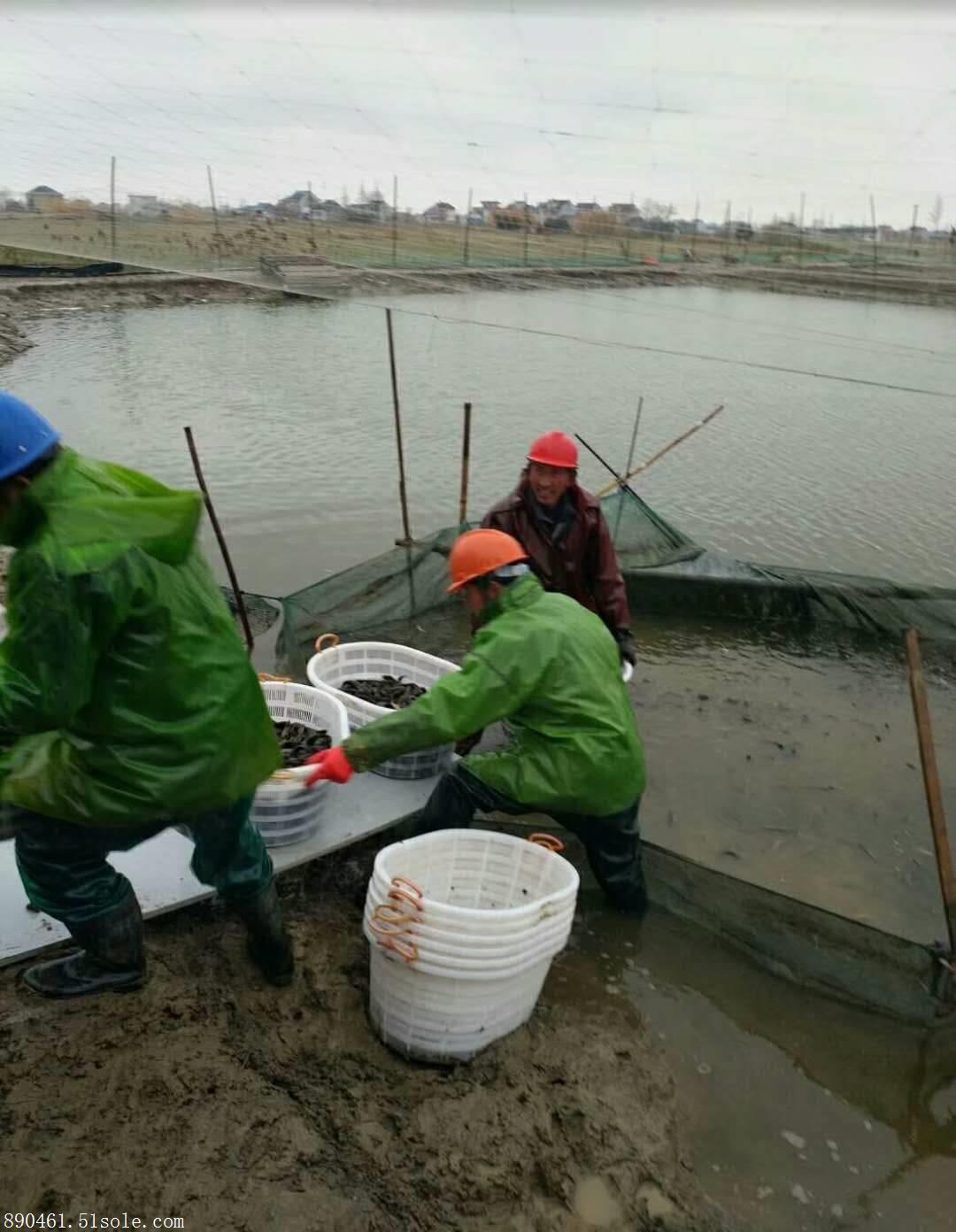 广州专业泥鳅养殖技术经销商