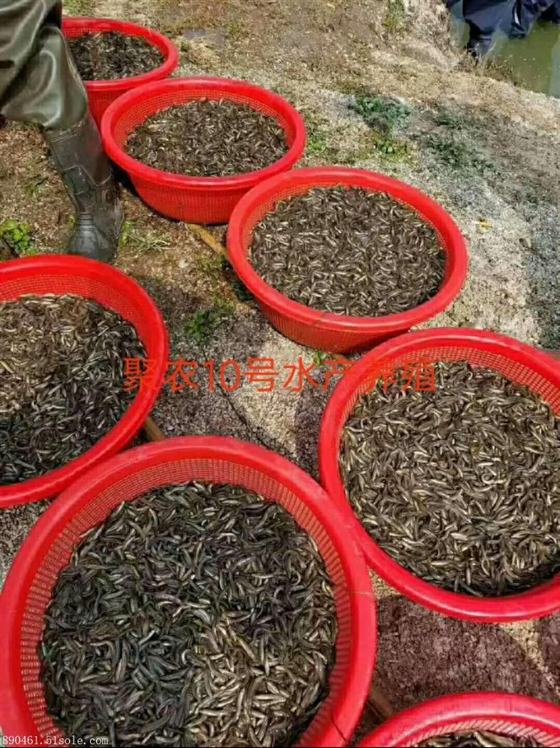 广州知名泥鳅生态养殖基地