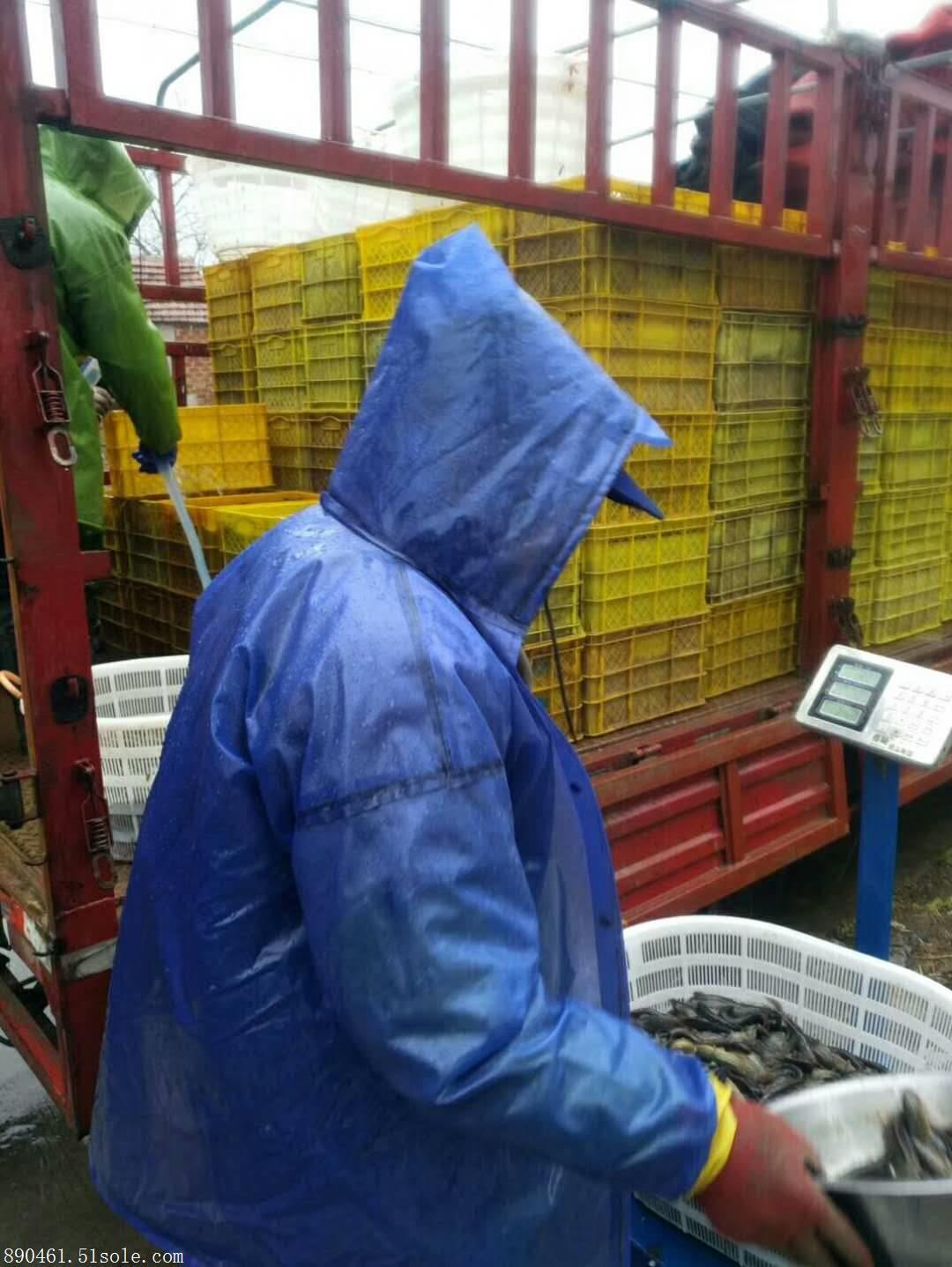 正规台湾泥鳅养殖公司