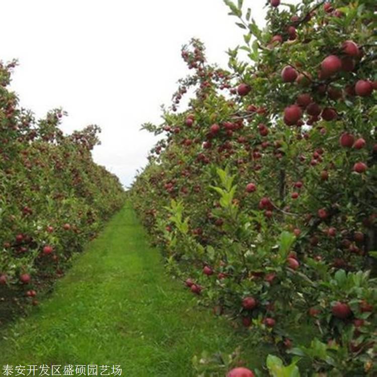 矮化苹果树苗价格矮化苹果树苗供应