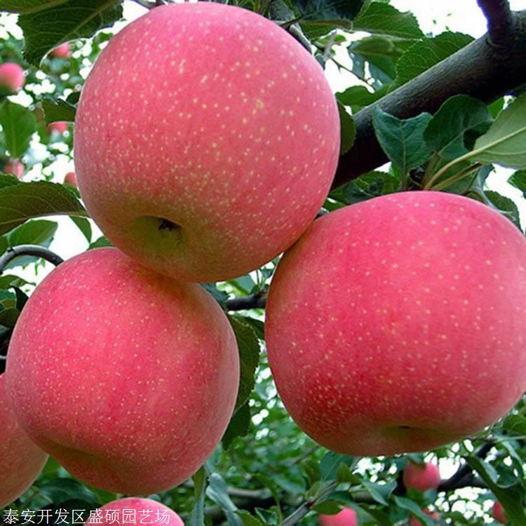苹果树苗基地盛硕农业苹果苗价格行情