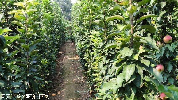 矮化苹果树苗价格四川矮化苹果苗批发