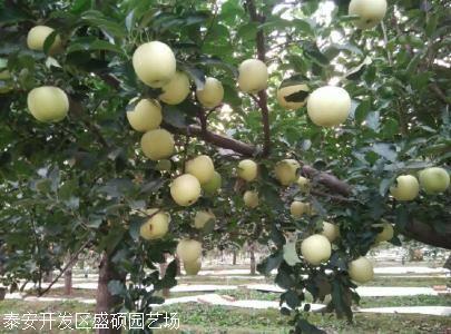 矮化苹果树苗价格红肉苹果苗价格行情